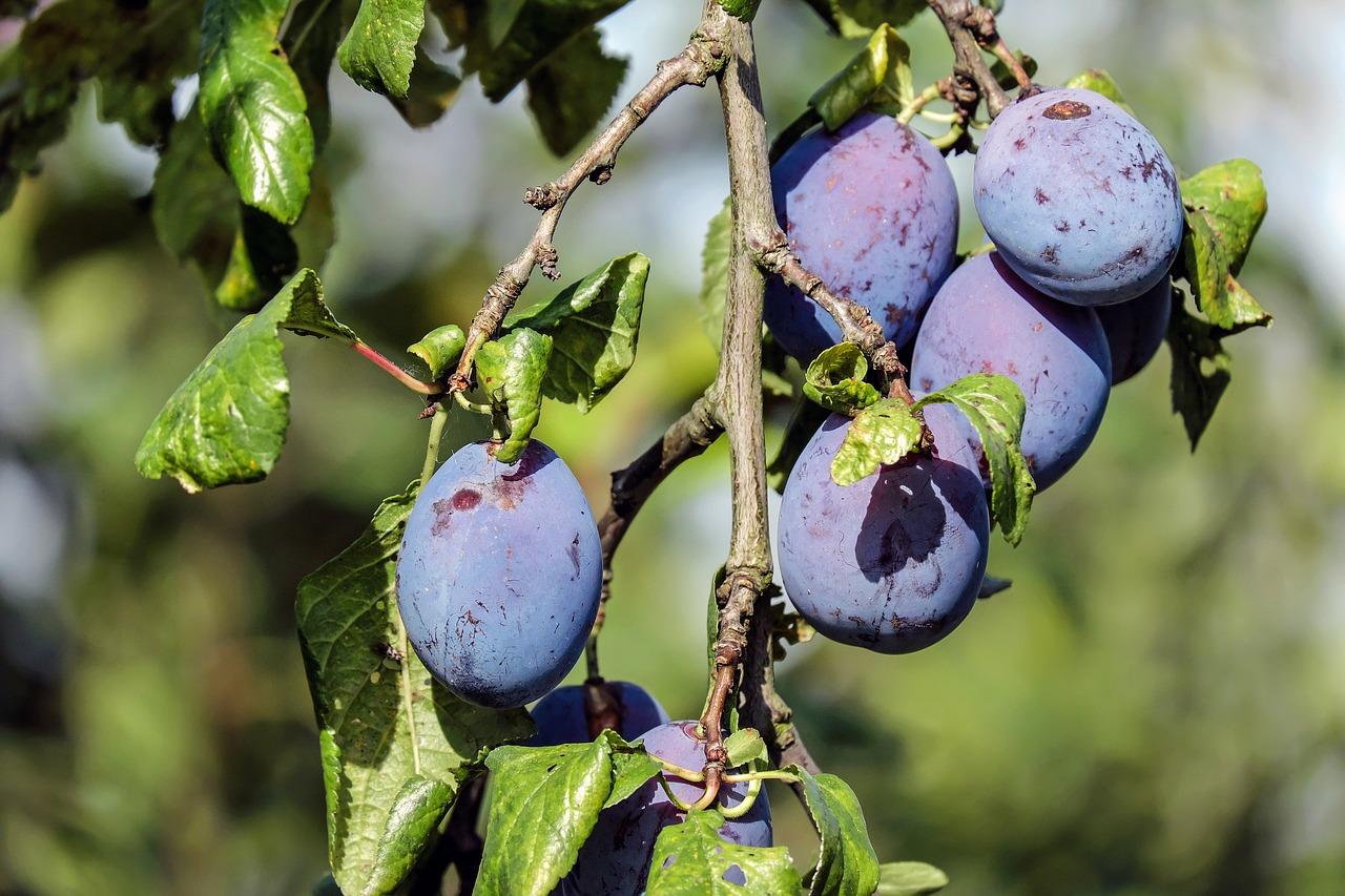 plum-1690494_1280